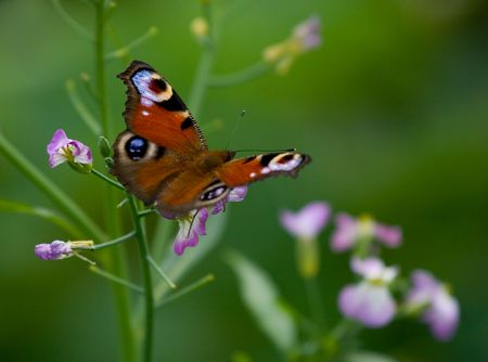 The foreground is carefree butterfly on a simple flower. The background is blured. Green colour prevails.