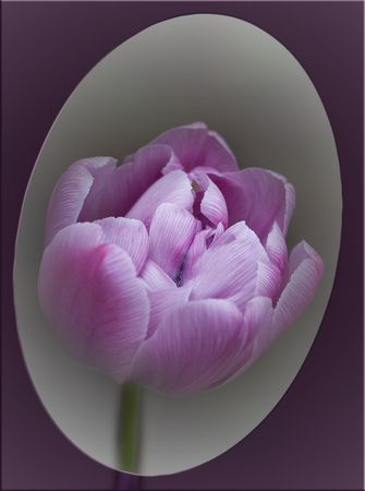 Imagination in style of a retro about harmony of contradictions. According to an ancient legend, in a tulip bud the happiness has been hidden. Violet shades symbolise balance search: unities of a body and thinking, material requirements and requirements o Stock Photo