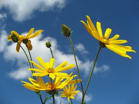 Yellow flowers and the blue sky. Solar summer day. An excellent background for creation of positive mood.