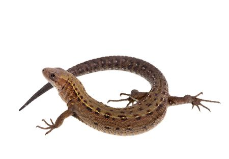 Involute lizard over white background Stock Photo