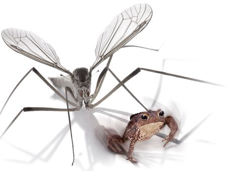 Mosquito and frog photo