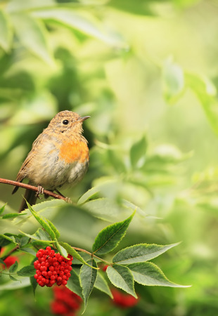 The bird is a Robin Erithacus rubecula sitting on a branch of elderberry Sambucus.  The end of summer, beginning of autumn. Stock Photo
