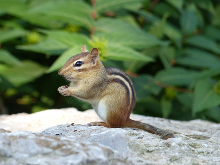 Chipmunk eating smothing, profile