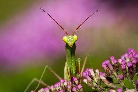 Praying mantis green on a pink flower Mantis religiosa