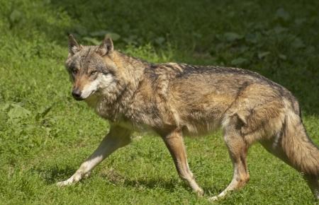 gray wolf: Gray wolf