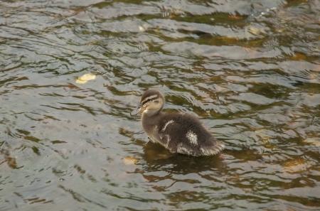 Small wild duck photo