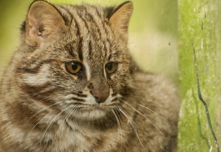 prionailurus: Amur cat  Prionailurus bengalensis euptilurus  Stock Photo