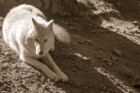 swiftly: Arctic wolf