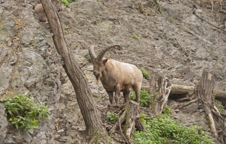 sprightly: Alpine ibex Stock Photo