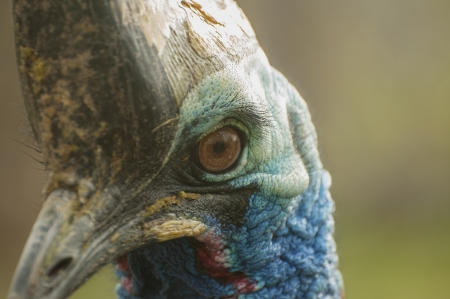 cassowary: Southern cassowary Stock Photo