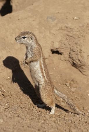 cape ground squirrel: Cape ground squirrel Stock Photo