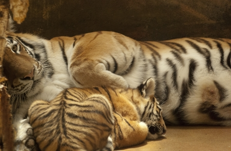 Tiger familia photo