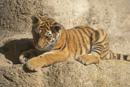 Peque�o tigre photo