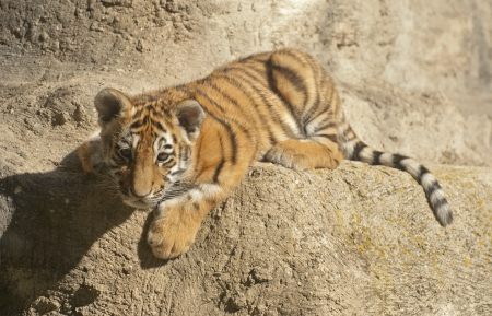 Small tiger photo