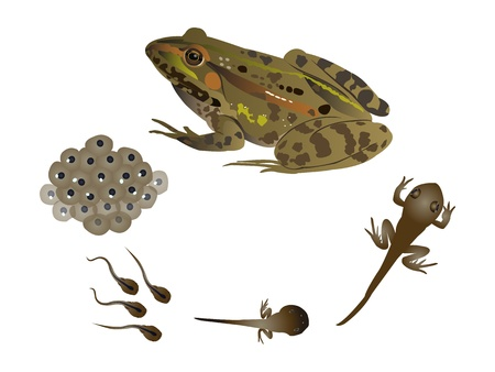tadpole: Life cycle of the frog Illustration