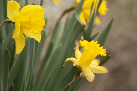 jonquil: Jonquil flowers