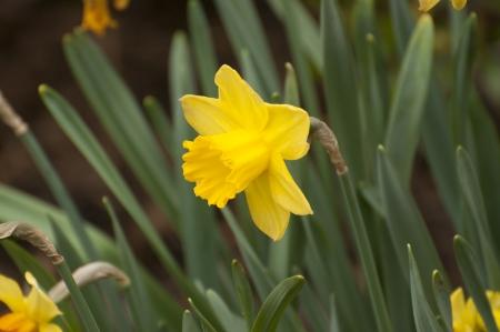 jonquil: Jonquil flower