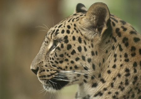 wil: Leopard Stock Photo