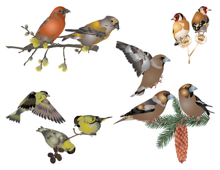 goldfinch: Finches Illustration