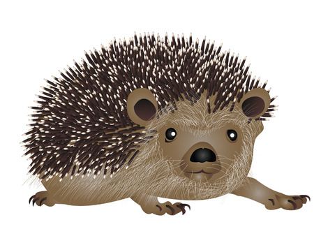insectivorous: Hedgehog illustration