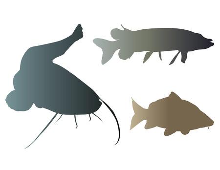 common carp: Frashwater fishes Illustration
