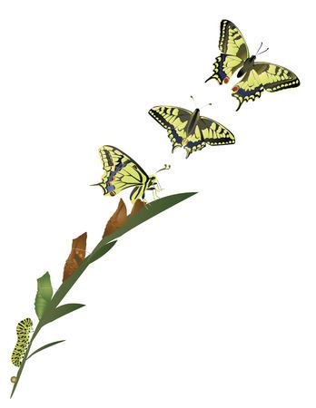oruga: Ciclo de vida de la mariposa