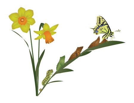 metamorphosis: Life cycle of butterfly