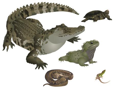 cocodrilo: Reptiles establecidos Vectores