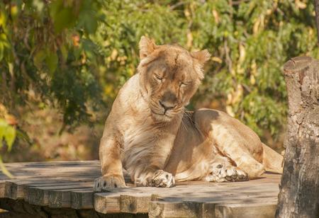 asiatic: Asiatic lion