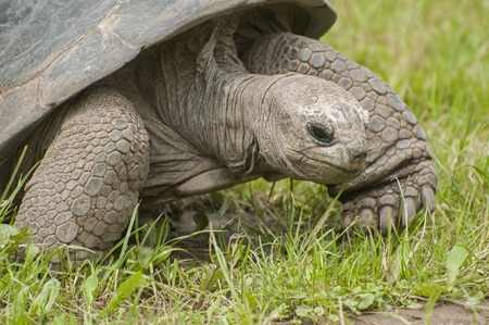 Aldabra giant tortoise photo