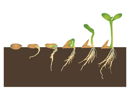 seed plant: Germination of seed
