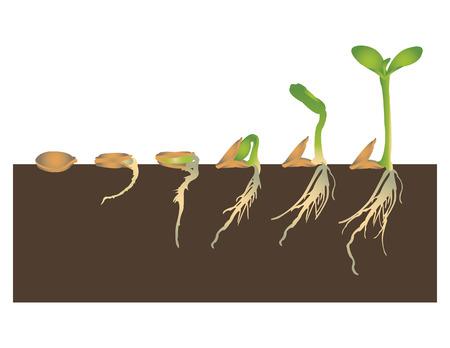 germinación: La germinación de las semillas