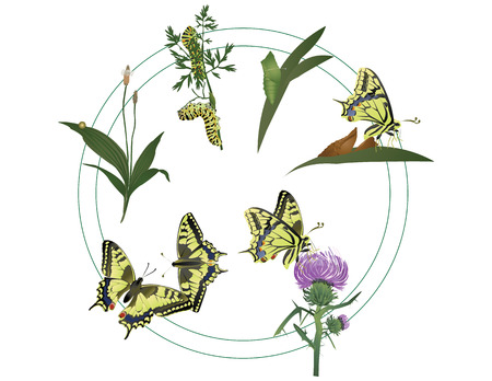 plantain: Life of butterfly