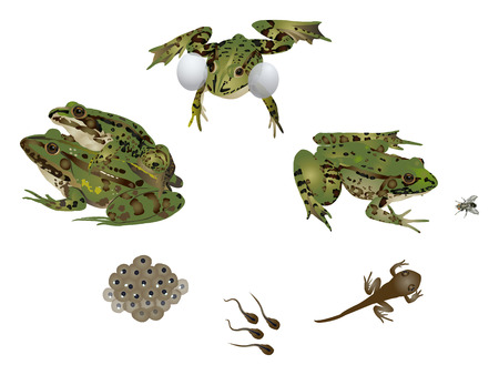 frog egg: Life of frog Illustration