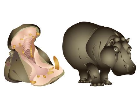 exotica: Hippopotamus