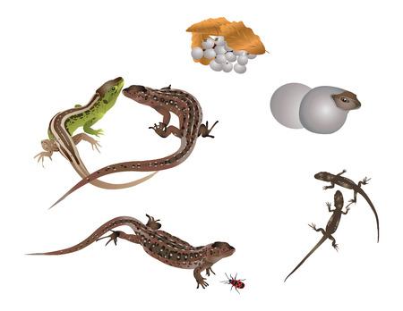 Life of lizard