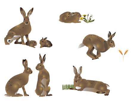 brown hare: Life of hare