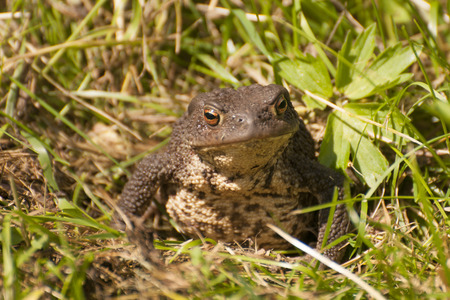 webbed: European toad
