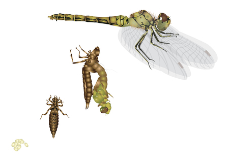 Le cycle de vie d'une libellule