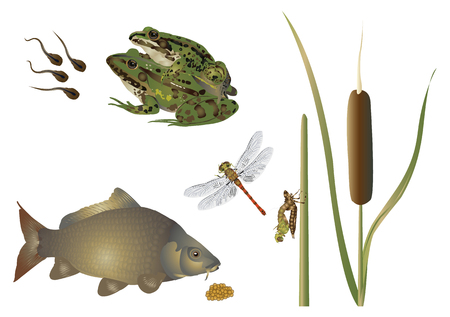 frog egg: Life at the pond Illustration