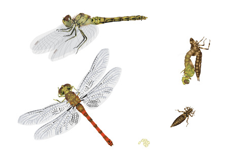 dragonfly wings: Life cycle of a dragonfly