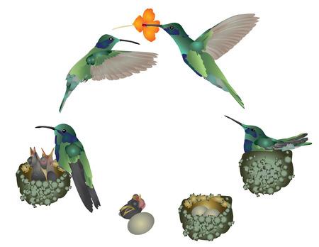 Levenscyclus van een kolibrie Stock Illustratie