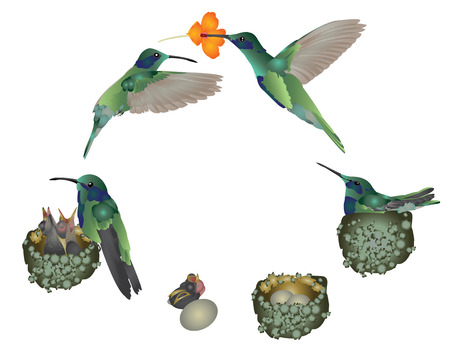 Life cycle of a hummingbird 向量圖像
