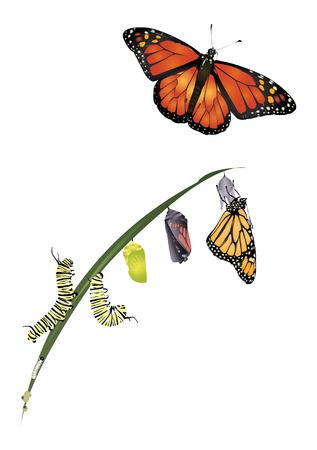 oruga: Ciclo de vida de la mariposa monarca. Vectores