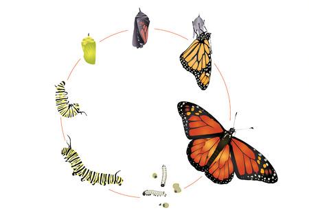 insecto: Ciclo de vida de la mariposa monarca. Vectores