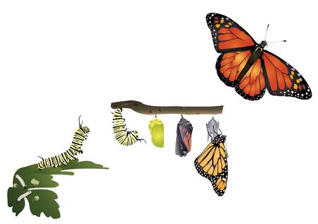 モナーク蝶のライフ サイクル。  イラスト・ベクター素材