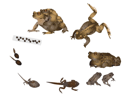 edible: Life cycle of common toad