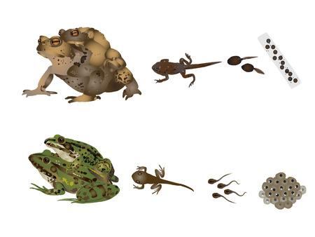tadpole: Life of frogs Illustration