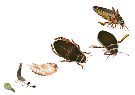 Life cycle of great diving beetle Illustration
