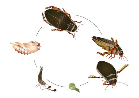 beetle: Life cycle of great diving beetle Illustration
